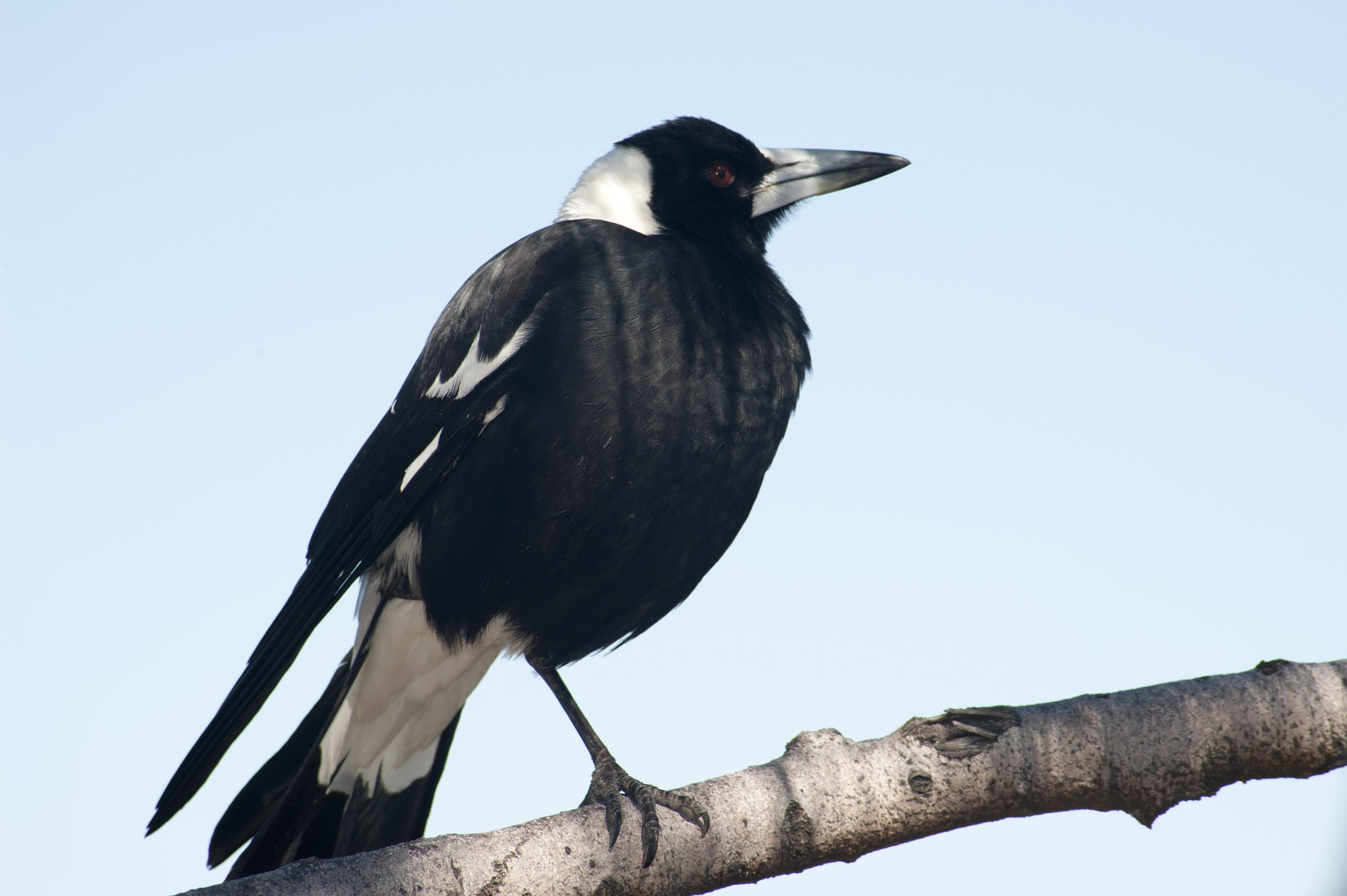 magpie perched on a branch