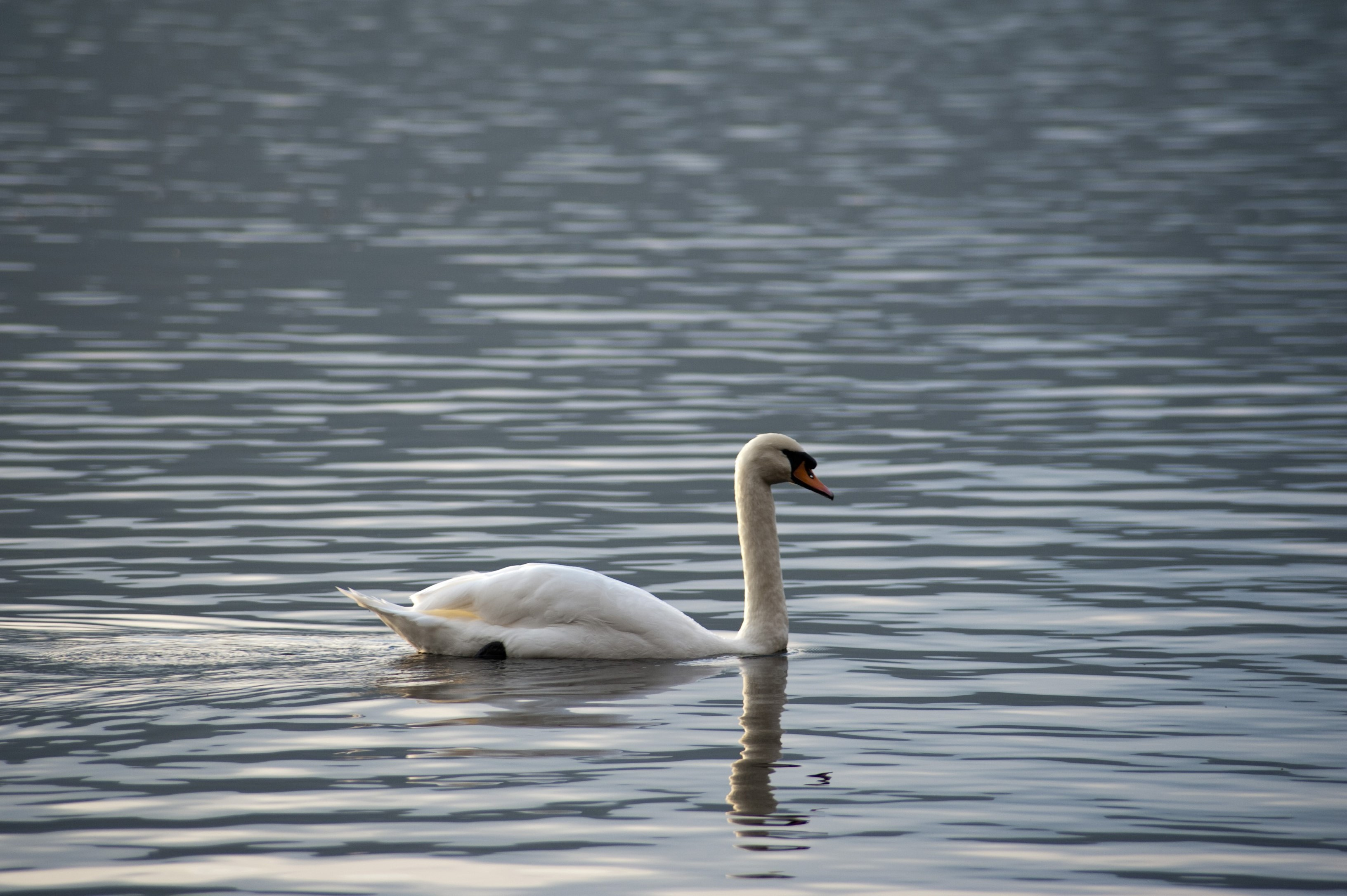 swan gliding on a calm lake surface