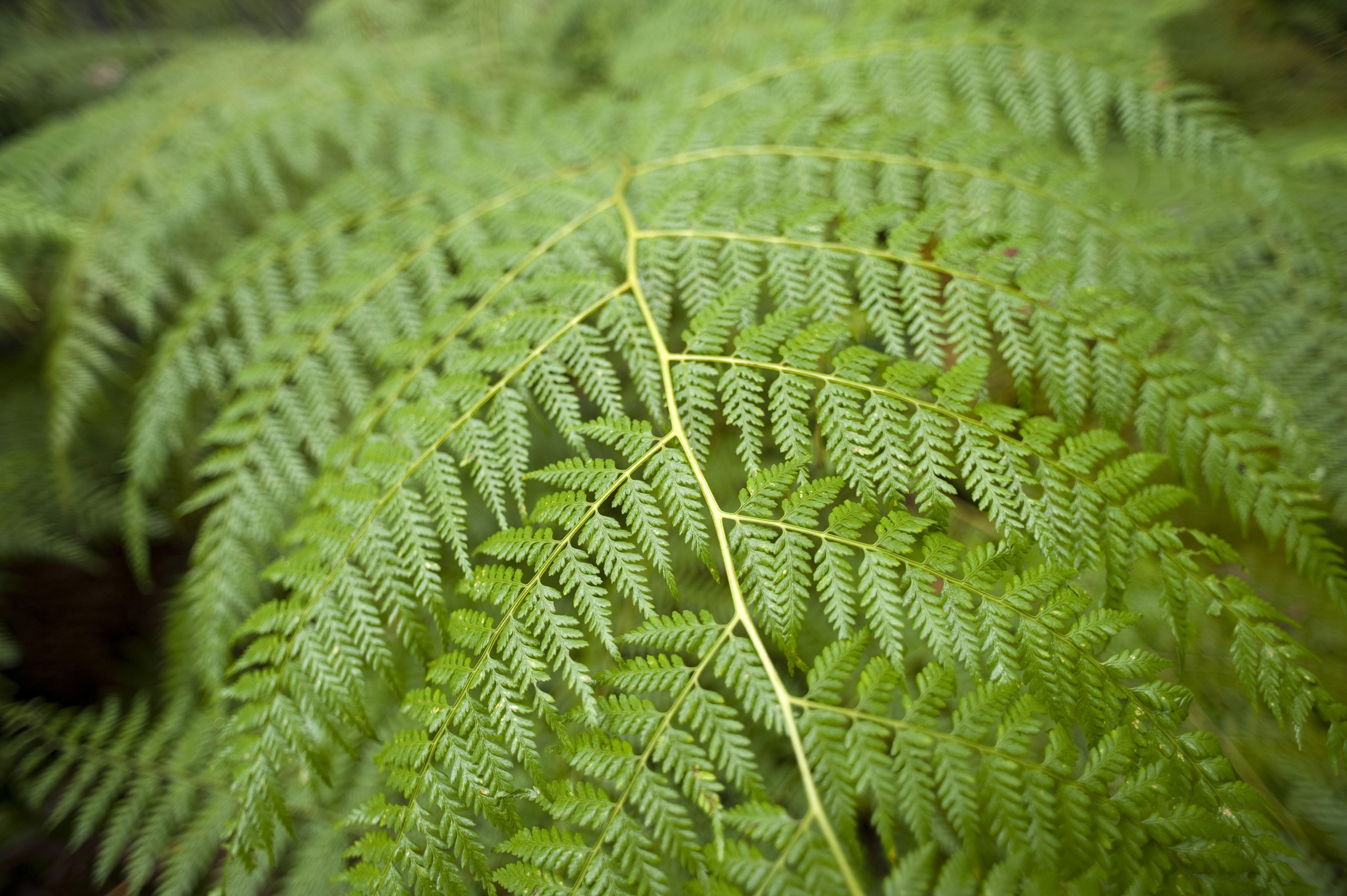 Nature background with the fresh green foliage of a tropical fern frond arching towards the camera with shallow dof