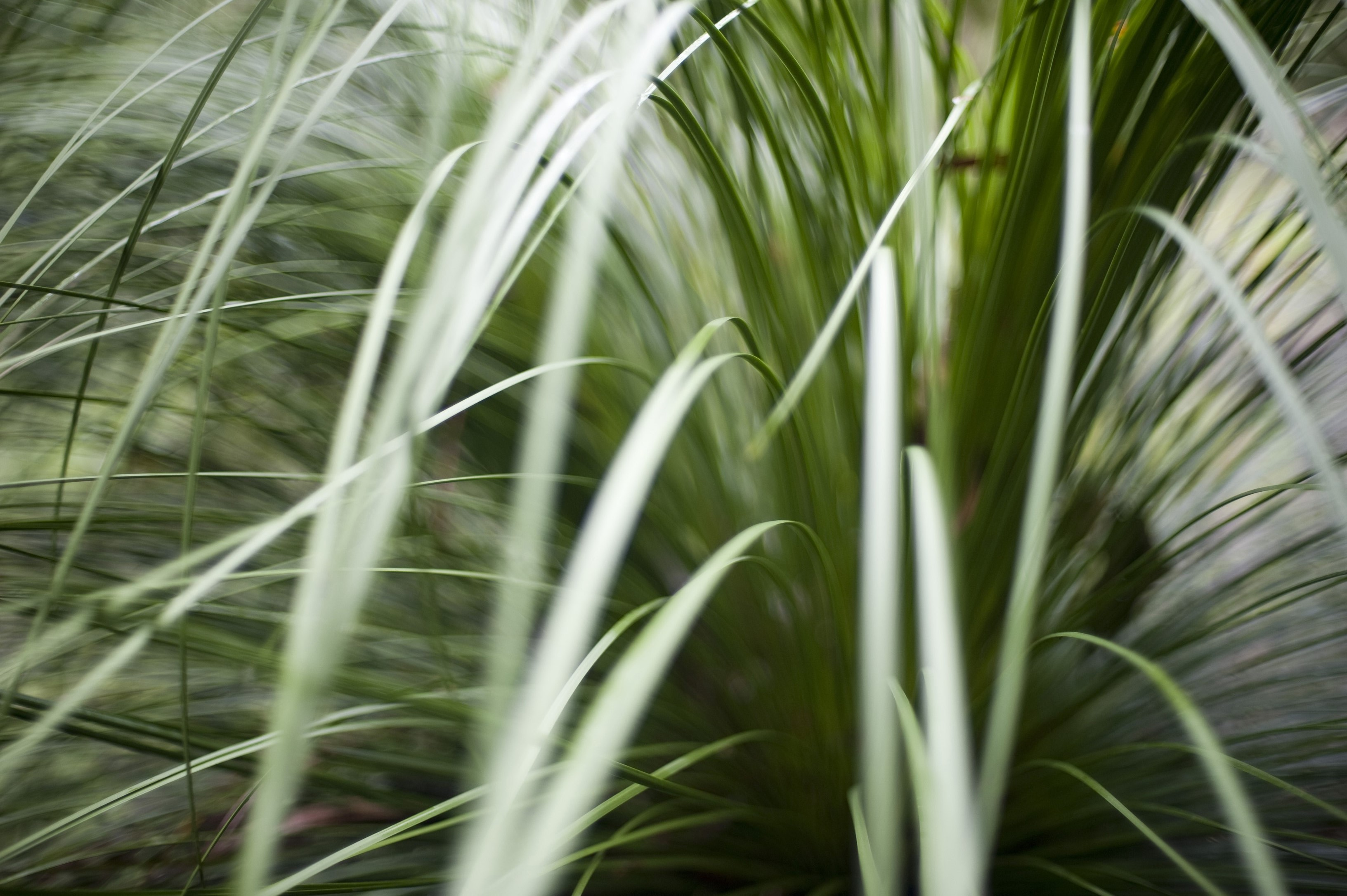 Soft focus nature background of fresh green grass fronds or blades curving gracefully towards the camera