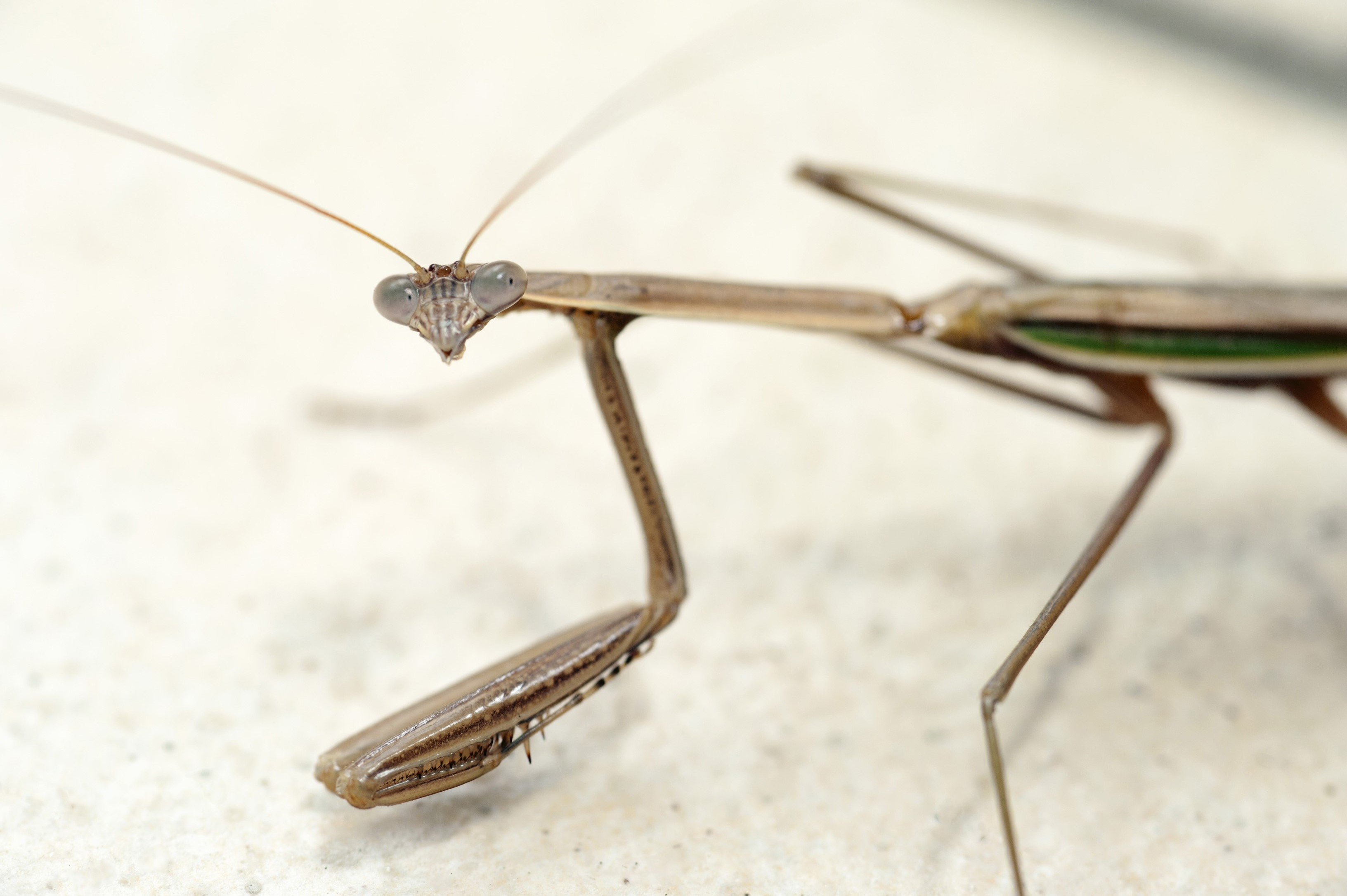 Close up view of a mantis looking at the camera, a predatory carnivorous insect of the family Mantidae found largely in tropical zones