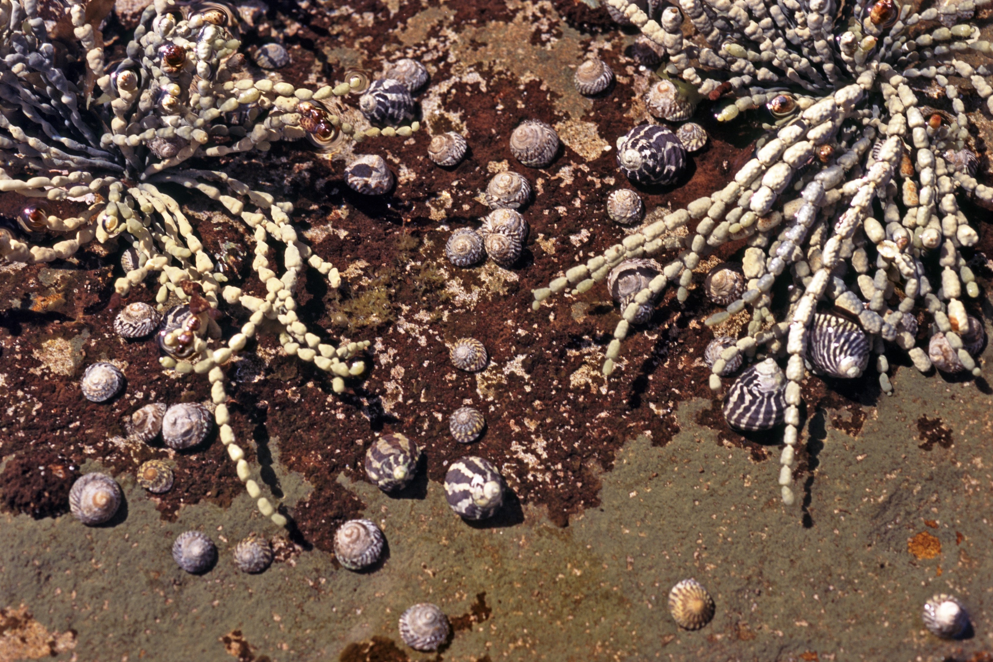 Rock pool plants with segmented seaweed and shells with hermit crabs and marine snails on a sandy bottom for an interesting nautical background